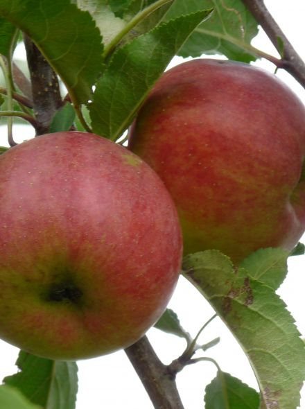 Appelboom Rajka (Malus domestica 'Rajka')