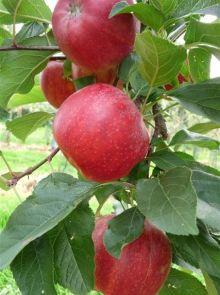 Appelboom Santana (Malus domestica ´Santana´)