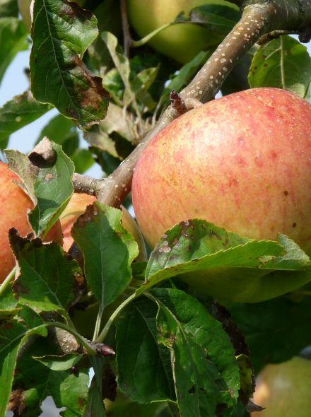 Appelboom Pinova (Malus domestica 'Pinova')