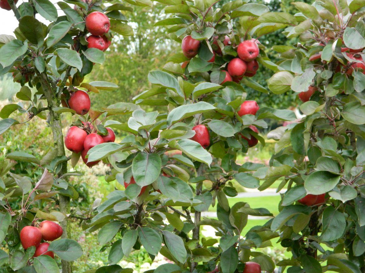 Malus domestica 'Redcats' (zuilappel, zuilfruit)