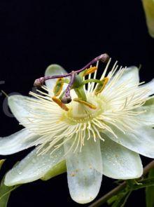 Passiflora 'Constance Elliott' (Witte passiebloem)