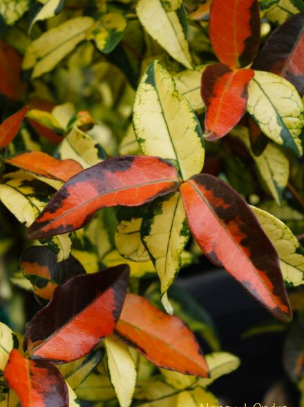 Trachelospermum asiaticum 'Ogon Nishiki' (Japanse sterjasmijn)