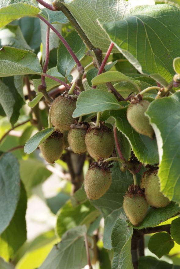 Actinidia chinensis 'Solissimo' (kiwiplant, zelfbestuivende kiwi)