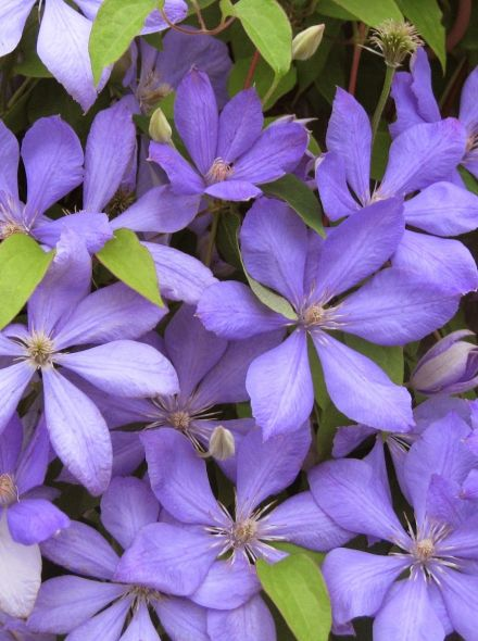 Clematis 'Mrs Cholmondeley' (Bosrank of bosdruif)