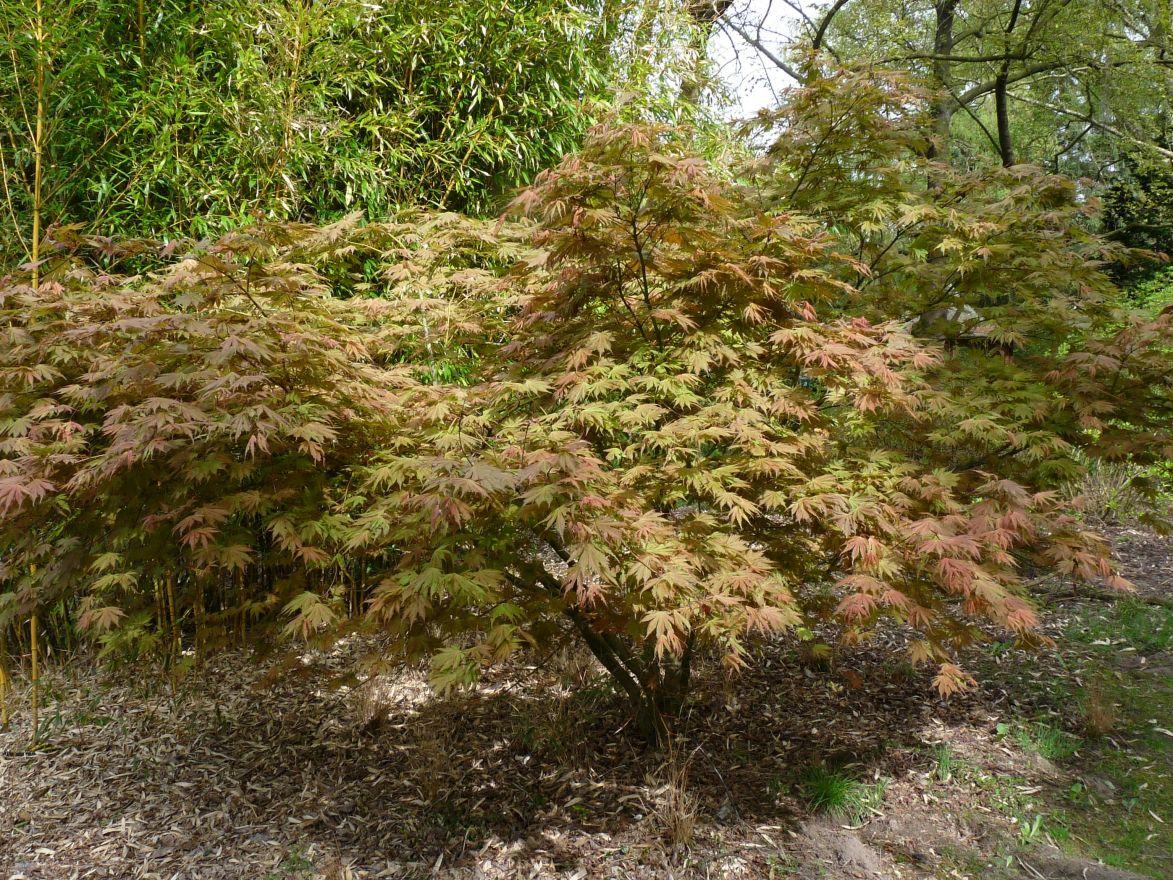 Acer palmatum 'Ariadne' (Japanse esdoorn)