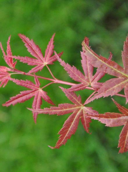 Acer palmatum 'Beni-komachi' (Japanse esdoorn)