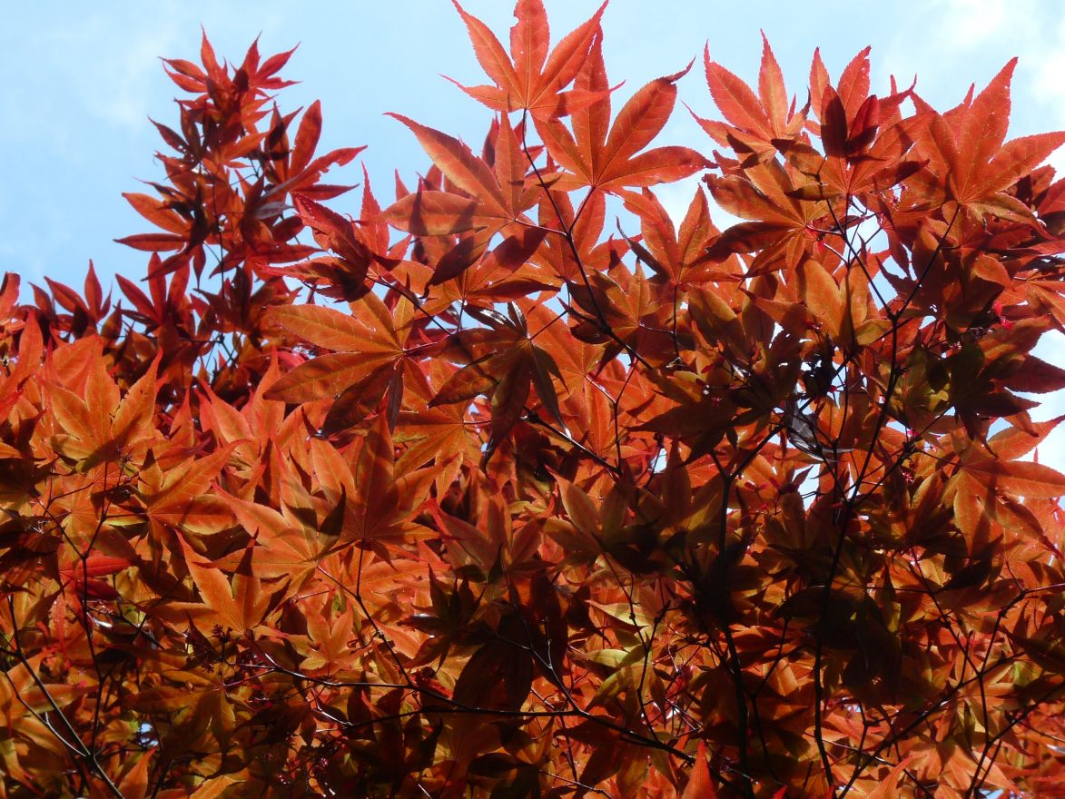 Acer palmatum 'Beni-maiko' (Japanse esdoorn)