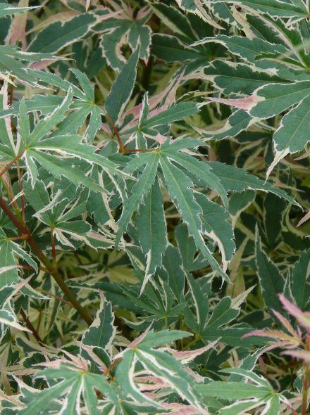 Acer palmatum 'Beni-shichi-henge' (Japanse esdoorn)