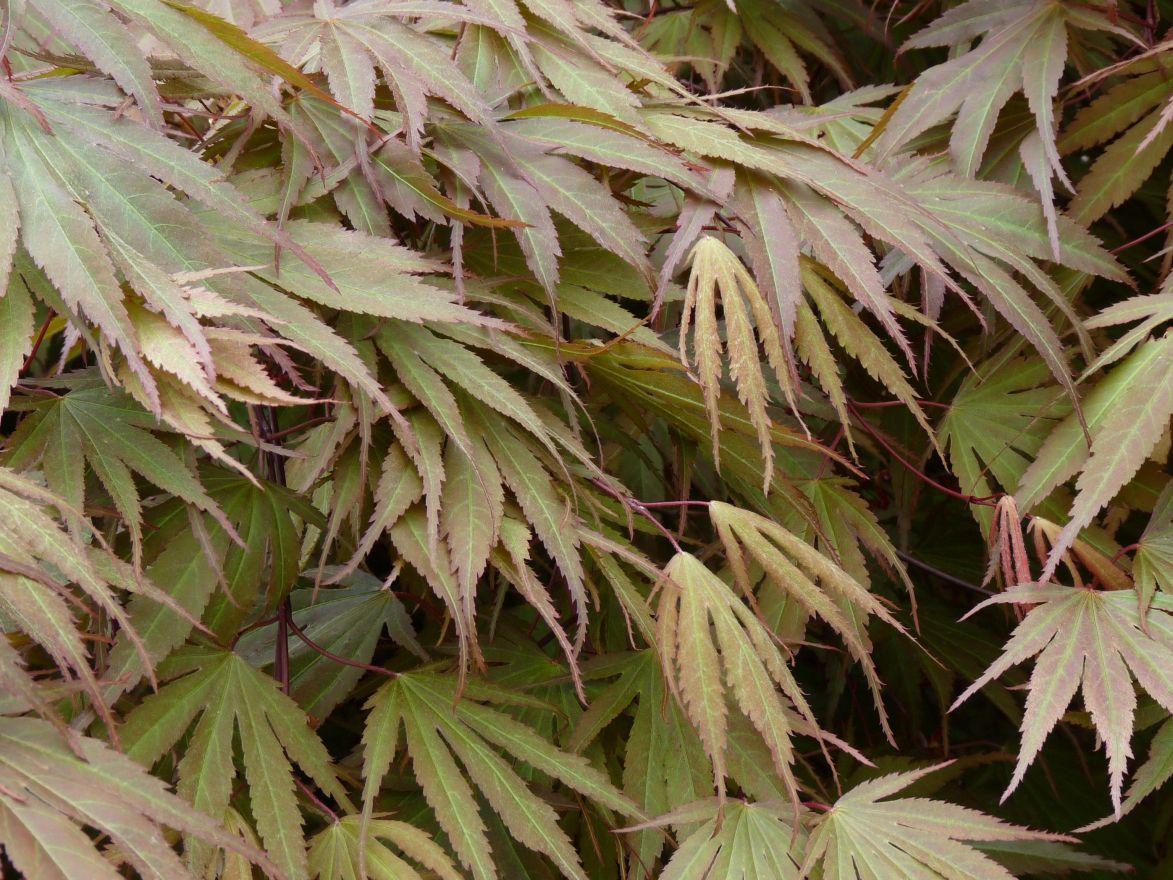 Acer palmatum 'Chitose Yama' (Japanse esdoorn)
