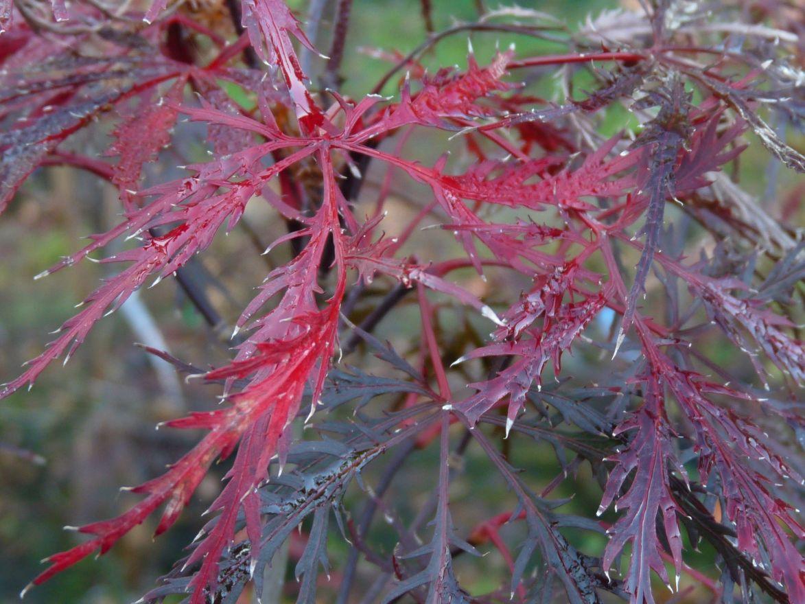Acer palmatum 'Inaba-shidare' (Japanse esdoorn)