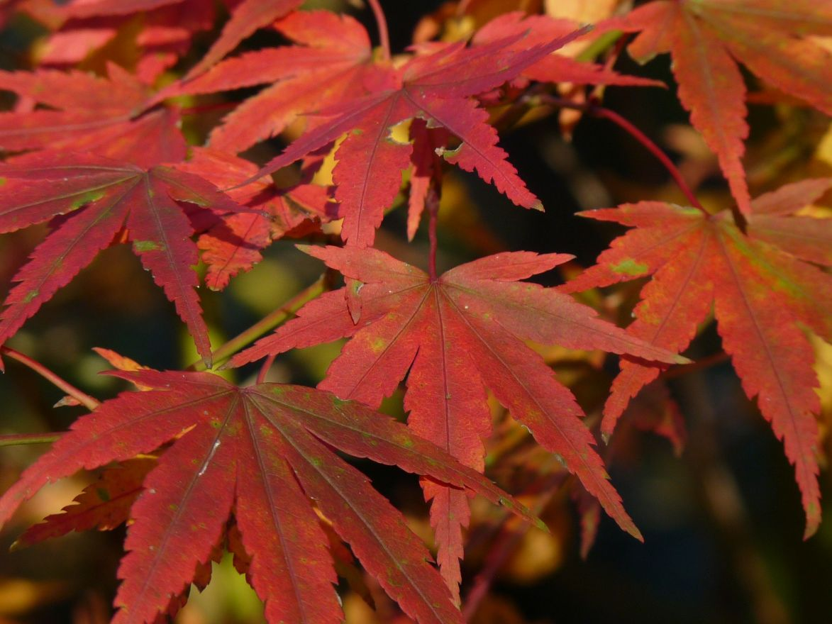 Acer palmatum 'Ki hachijo' (Japanse esdoorn)