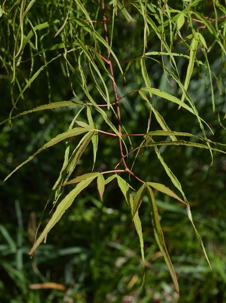 Acer palmatum 'Koto no ito' (Japanse esdoorn)