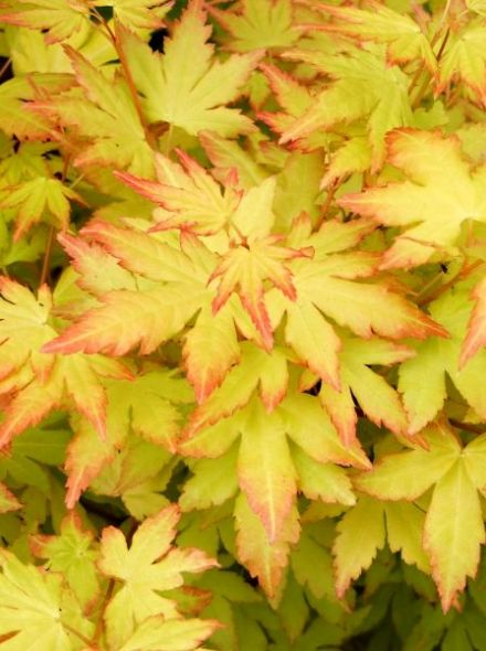 Acer palmatum 'Orange Dream' (Japanse esdoorn)