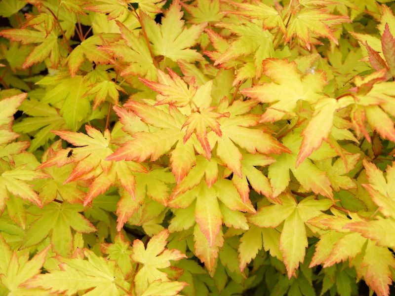 Acer palmatum 'Orange Dream' (Japanse esdoorn)