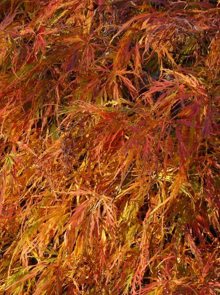 Acer palmatum 'Ornatum' (Japanse esdoorn)