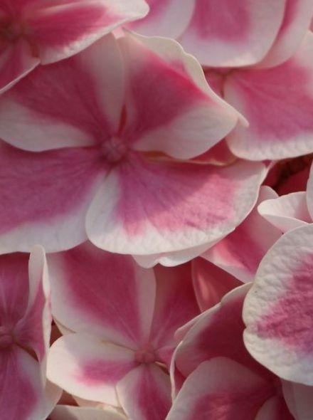 Hydrangea Forever & Ever Peppermint  (Tweekleurige hortensia)