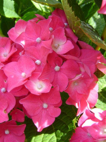 Hydrangea Forever & Ever Red (Rode hortensia)