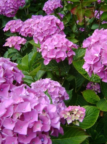 Hydrangea Forever & Ever Pink (Roze hortensia)