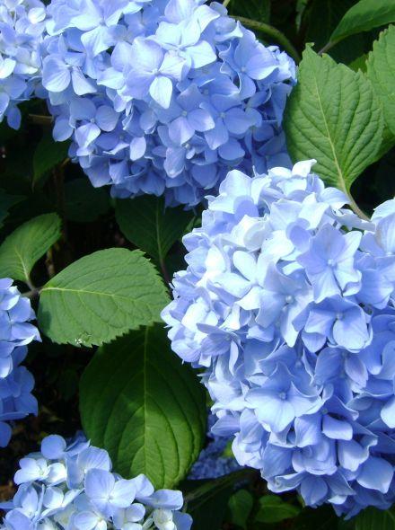 Hydrangea 'Forever & Ever Blue' (Blauwe hortensia)