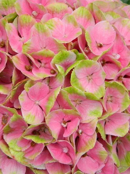 Hydrangea 'Magical Amethyst Pink' (Hortensia)