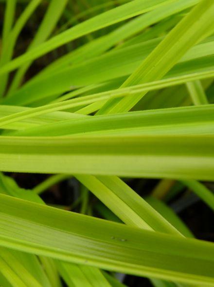 Carex oshimensis 'Everillo' (Japanse zegge)
