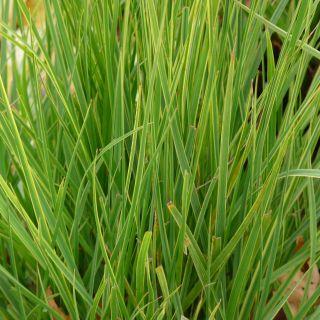 Carex oshimensis 'Everlime' (Japanse zegge)