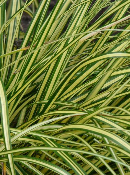 Carex oshimensis 'Eversheen' (Japanse zegge)