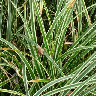 Carex oshimensis 'Everest' (Japanse zegge)