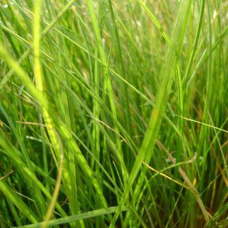 Carex testacea 'Prairie Fire' (zegge)