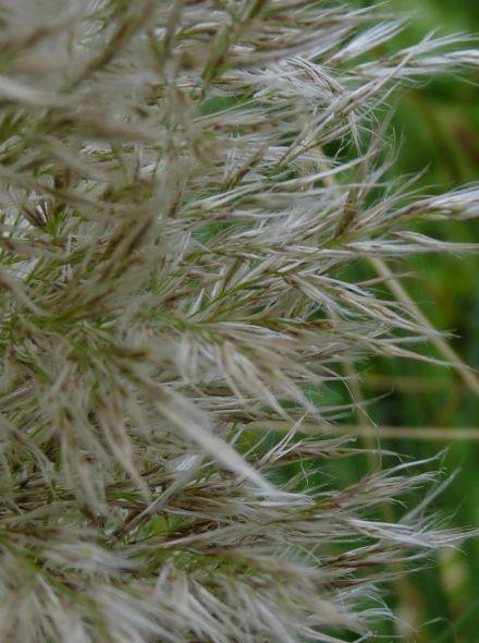 Cortaderia selloana 'Senior' (Pampasgras)