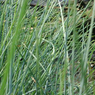 Festuca glauca 'Uchte' (Blauw zwenkgras, Blauw schapengras)