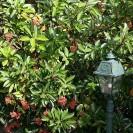 Viburnum odoratissimum - Sneeuwbal
