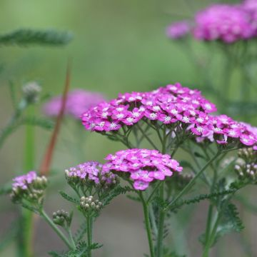 Welke planten kunnen het best tegen droogte?