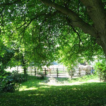 Hoe kan een notenboom weer beter gaan groeien?