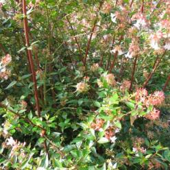 Abelia grandiflora - /