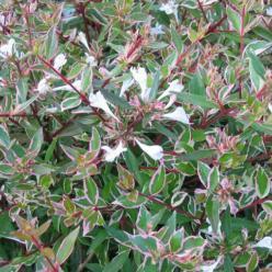 Abelia × grandiflora 'Confetti' (='Conti') -