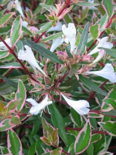 Abelia Grandiflora Confetti Conti De Tuinen Van Appeltern