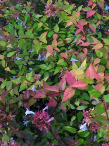 Abelia × grandiflora 'Francis Mason' -