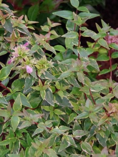 Abelia × grandiflora 'Happy Daydream' -