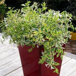 Abelia × grandiflora 'Hopleys' -