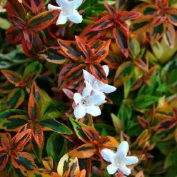 Abelia × grandiflora 'Kaleidoscope' -