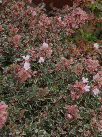 Abelia × grandiflora 'Magic Daydream' (='Opstal103') -