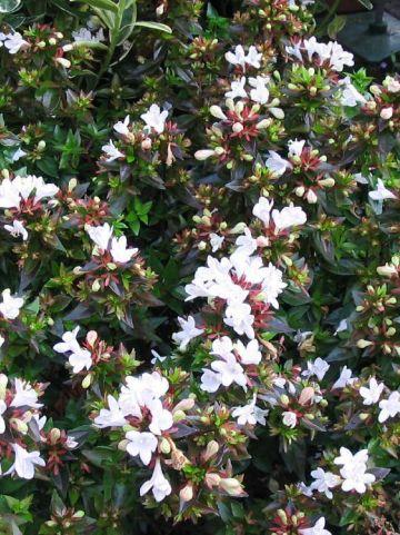 Abelia × grandiflora 'Prostrata' -