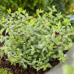 Abelia × grandiflora 'Lucky Lots' (='Wevo2') -
