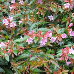 Abelia  'Edward Goucher' -