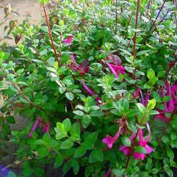 Abelia floribunda  -