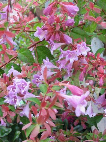 Abelia parviflora 'Bumble Bee' -