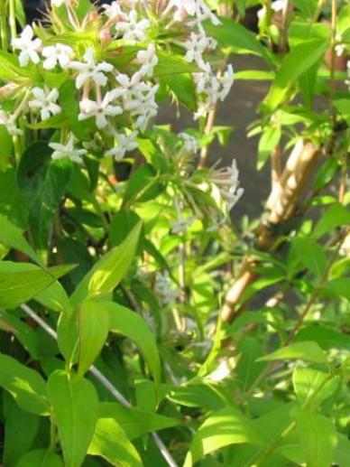 Abelia triflora  -