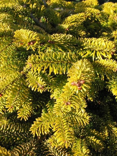 Abies nordmanniana 'Golden Spreader' - Dwerg-reuzenspar