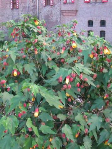 Abutilon  'Kentish Belle' -